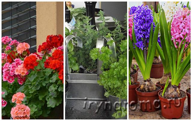 ароматные цветы для дома