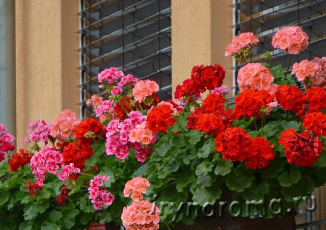 ароматные цветы