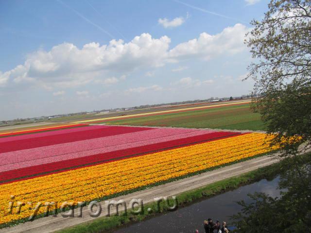 тюльпановые поля голандия