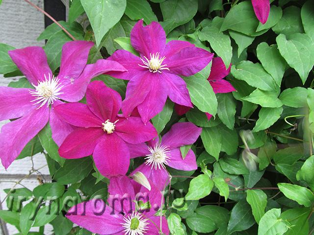 цветок клематис уход