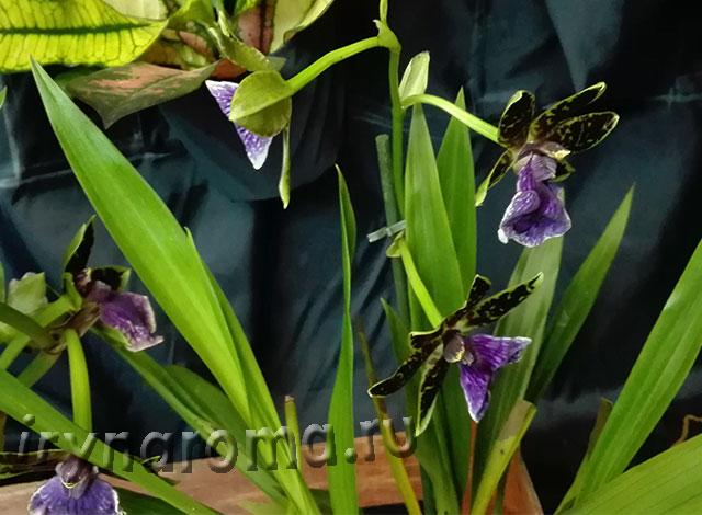 ароматная орхидея