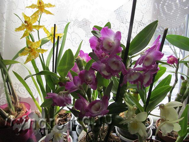 орхидеи дендробиум и камбрия