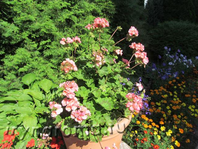 герань в саду