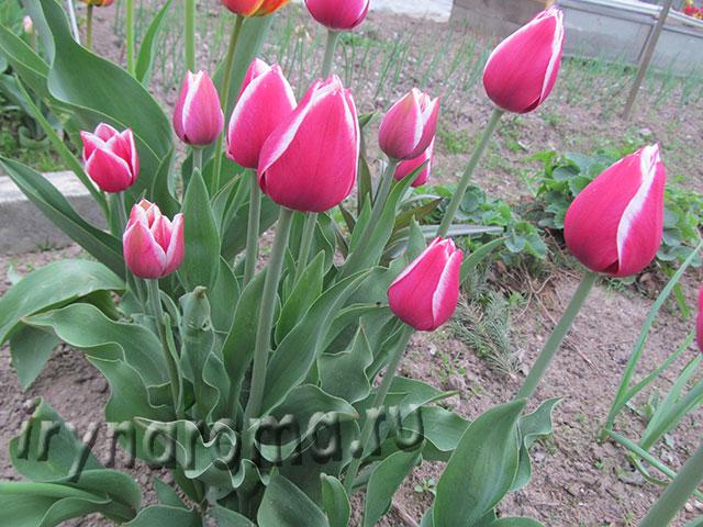 нужно ли выкапывать тюльпаны